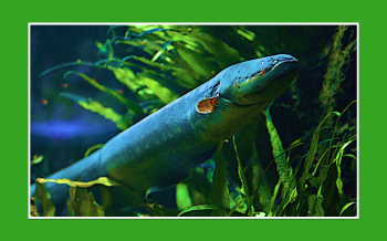 El animal más eléctrico del mundo: una anguila de 860 voltios