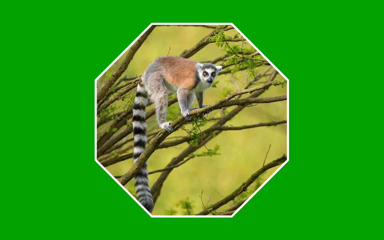 lemures extincion