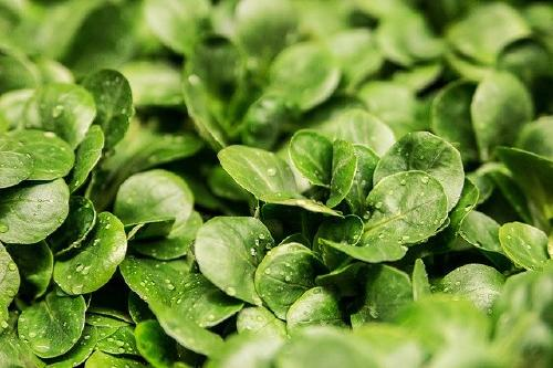 lettuce-264826_640